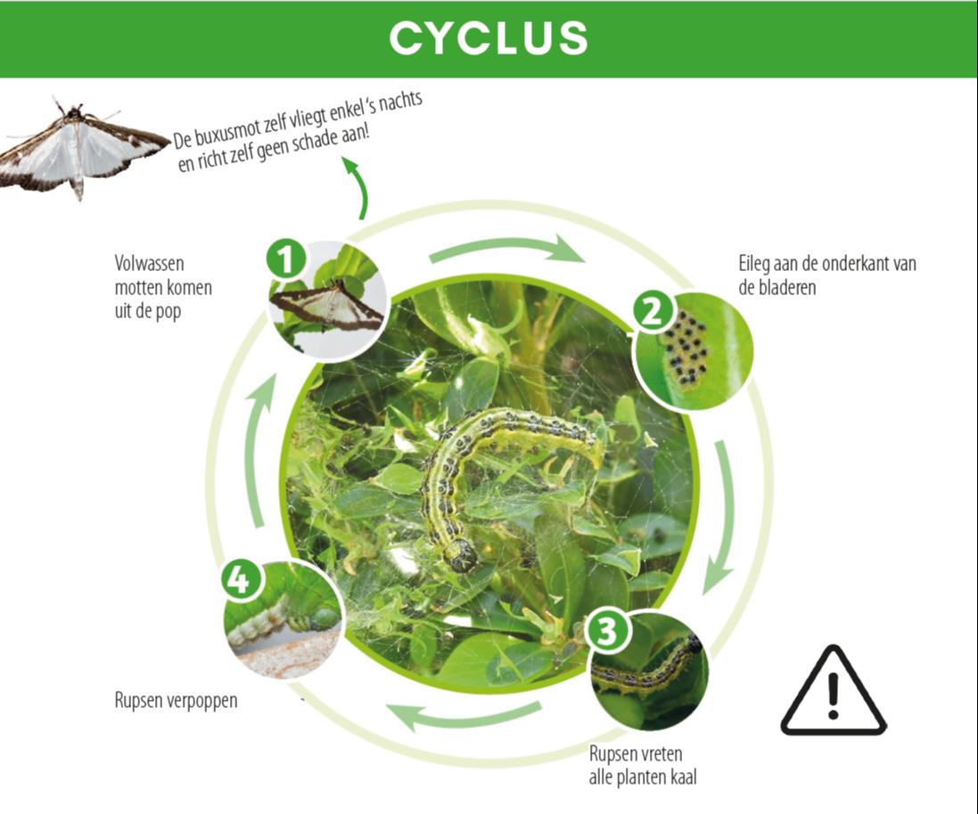 cyclus buxusmot buxusrups
