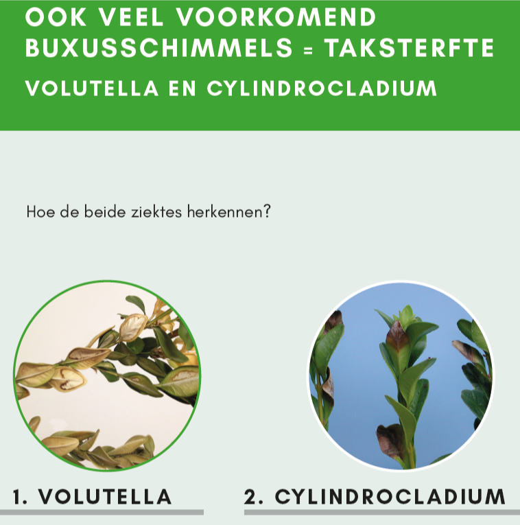 Volutella en Cylindrocladium