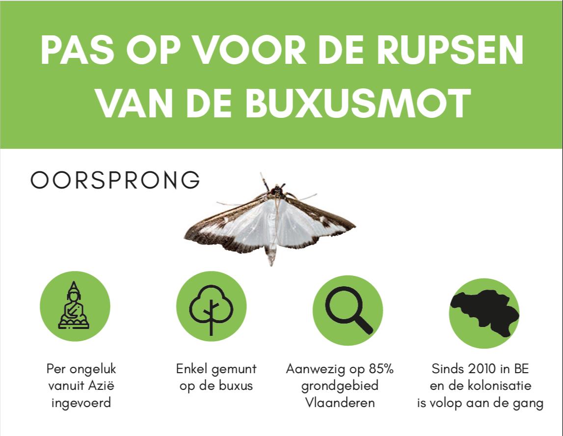 Buxusmot ingevoerd Azië. Nachtvlinder vooral op de buxus gemunt.