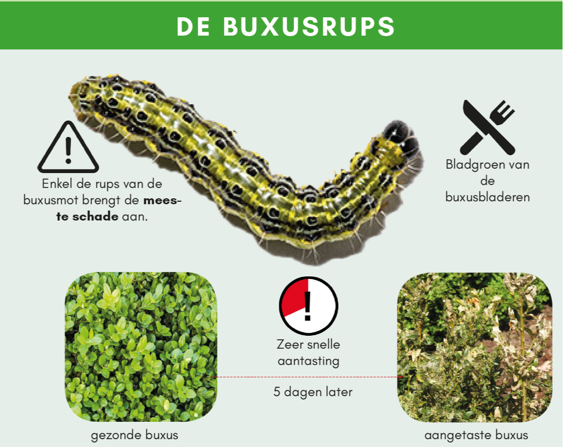 buxusrups